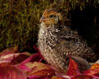 Nine days old quail, Coturnix japonica.....photographed in nature. Breed by hoby growers in Sweden. The Japanese quail, Coturnix japonica, is a species of Old royalty free stock photography