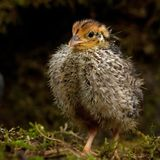 Nine days old quail, Coturnix japonica.....photographed in nature. Breed by hoby growers in Sweden. The Japanese quail, Coturnix japonica, is a species of Old stock images