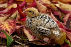 Nine days old quail, Coturnix japonica.....photographed in nature. Breed by hoby growers in Sweden. The Japanese quail, Coturnix japonica, is a species of Old stock image