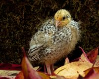 Nine days old quail, Coturnix japonica.....photographed in nature. Breed by hoby growers in Sweden. The Japanese quail, Coturnix japonica, is a species of Old stock photos