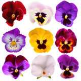 Nine different Pansies Stock Photos