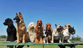 Nine dogs. Group of puppies purebred dogs on a table
