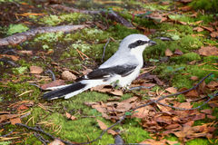 Nine killer Great grey Shrike is ferocious predator of passerine bird Royalty Free Stock Images