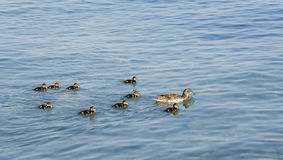 Nine little ducklings float for mother. A duck Stock Photo