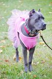 Nine month old cane corso italian mastiff in dress Stock Images