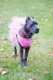 Nine month old cane corso italian mastiff in dress Royalty Free Stock Photos