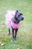 Nine month old cane corso italian mastiff in dress royalty free stock photos