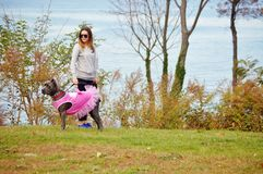 Nine month old cane corso italian mastiff in dress Stock Photos