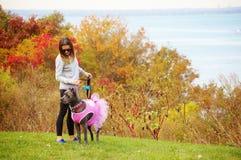 Nine month old cane corso italian mastiff in dress Stock Images