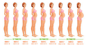 Nine months of pregnancy progression.. Vector illustration  on white background Stock Images