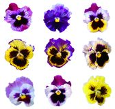 Nine Pansies Royalty Free Stock Photo