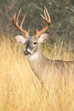 Nine point whitetail buck Royalty Free Stock Photography