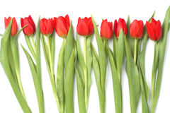 Nine red tulips Royalty Free Stock Image