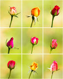 Nine rose flower Stock Photography
