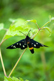 Nine spotted butterfly. With green background Stock Photos