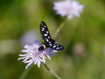 The nine-spotted moth Royalty Free Stock Images