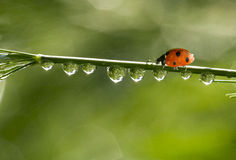 Nine spotted orange ladybug Royalty Free Stock Photos