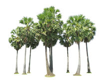 Nine sugar palm tree Royalty Free Stock Photography