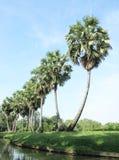 Nine sugar palm tree Royalty Free Stock Photo