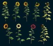 Nine Sunflowers 3d CG Royalty Free Stock Photo