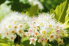 Ninebark de floraison Photos libres de droits