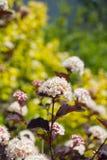 Ninebark (opulifolius Physocarpus) Στοκ Φωτογραφία