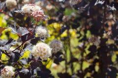 Ninebark (Physocarpus opulifolius) Stock Photo