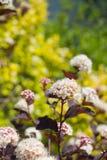 Ninebark (Physocarpus opulifolius) Stock Photography