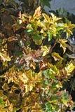 Ninebark. Shrub in the garden Royalty Free Stock Images