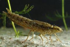Ninfa da libélula Imagens de Stock