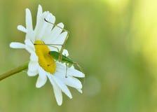 Ninfa de Katydid Fotografia de Stock
