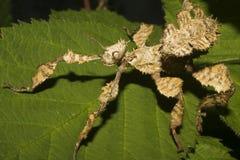 Ninfa del insecto de palillo del espectro de Mackleys Imagen de archivo libre de regalías
