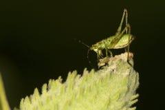Ninfa do katydid de Bush em uma vagem da semente do milkweed Imagem de Stock