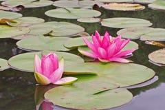 Ninfea, bello fiore acquatico per la decorazione del giardino fotografia stock