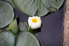 Ninfea blomning royaltyfri fotografi