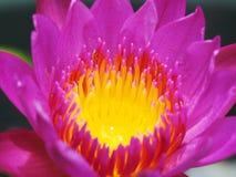 Ninfea della fioritura Fotografia Stock