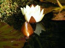 Ninfea di fioritura bianca nello stagno del giardino Immagini Stock Libere da Diritti