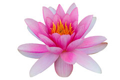 Ninfea di Lotus isolata con il fondo di bianco del percorso di ritaglio Fotografie Stock Libere da Diritti