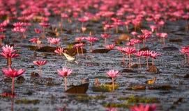 Ninfea di rosso dell'uccello acquatico immagini stock libere da diritti