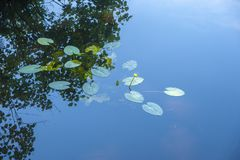 Ninfea gialla nel lago Herthasee nel Nationalpark Jasm immagine stock libera da diritti