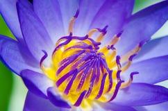 Ninfea: Le piante si sviluppano in stagni ed in zone umide Fotografie Stock