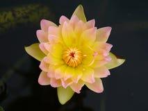 Ninfea, loto Fotografia Stock