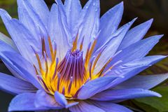 Ninfea porpora in piena fioritura Immagini Stock