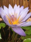 Ninfea porpora, spiegamento del fiore di Nouchali della nymphaea in Kapaa sull'isola di Kauai, Hawai fotografie stock libere da diritti