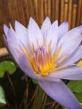 Ninfea porpora, spiegamento del fiore di Nouchali della nymphaea in Kapaa sull'isola di Kauai, Hawai fotografie stock