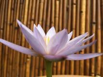 Ninfea porpora, spiegamento del fiore di Nouchali della nymphaea in Kapaa sull'isola di Kauai, Hawai immagini stock libere da diritti
