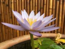 Ninfea porpora, spiegamento del fiore di Nouchali della nymphaea in Kapaa sull'isola di Kauai, Hawai immagine stock