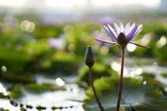 Ninfea porpora trovata in un giardino Fotografia Stock