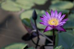 Ninfea porpora trovata in un giardino Immagine Stock