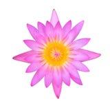 Ninfea rosa Fotografia Stock
